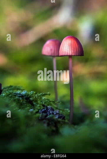 Wilde Pilze im Wald, Schweden Stockbild