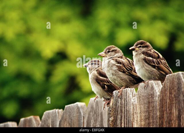 Drei Haussperlinge hocken auf Zaun Stockbild