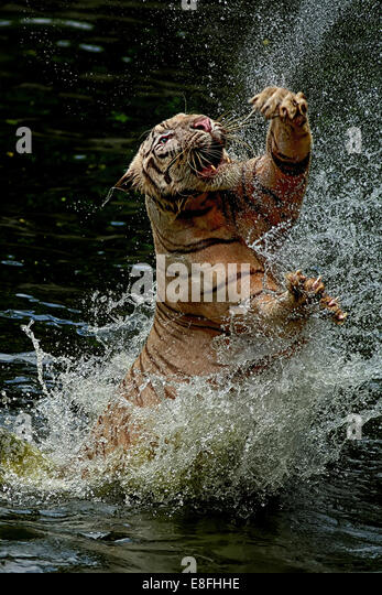 Indonesien, Jakarta spezielle Hauptstadtregion Ragunan, Tiger springen aus dem Wasser, um Nahrung zu fangen Stockbild