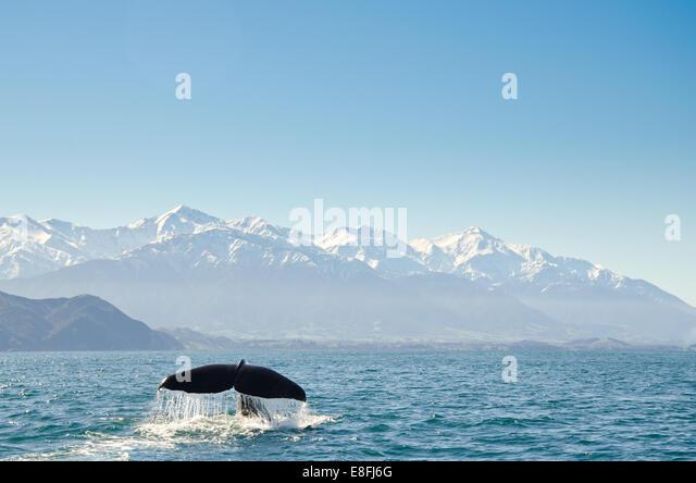 Neuseeland, Canterbury, Kaikoura, Blick auf Wale Schwanzflosse Stockbild