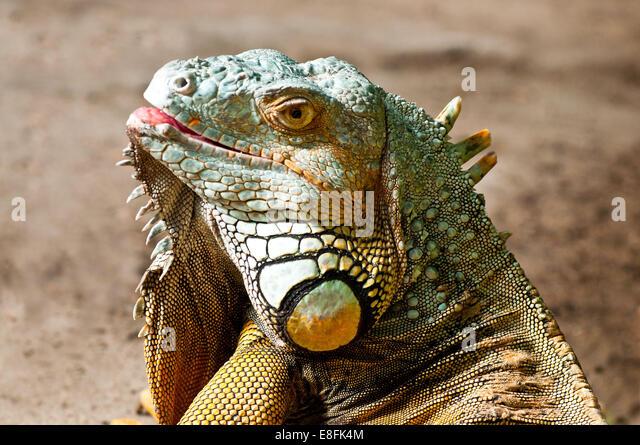 Porträt von einem Leguan Lizard, Südafrika Stockbild