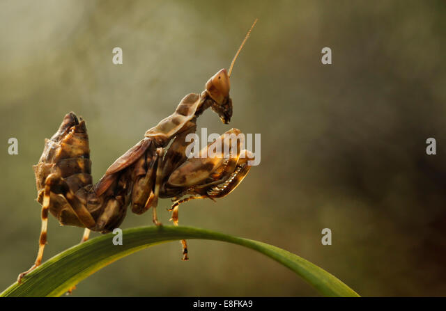 Indonesien Jakarta spezielle Hauptstadtregion, Rawamangun, Monster Insekt Stockbild
