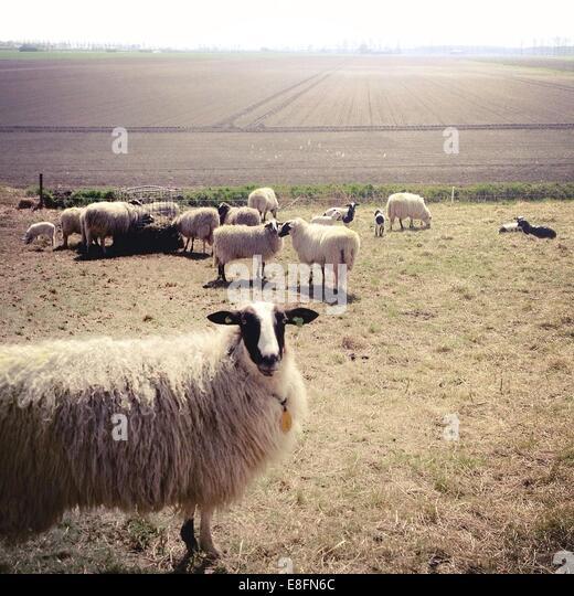 Schafherde auf der Weide Stockbild