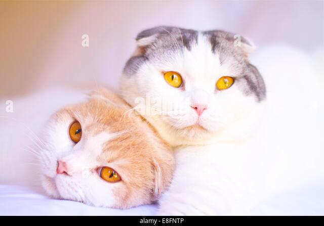 Porträt von zwei Scottish Fold Katzen zusammen auf einem Bett liegend Stockbild