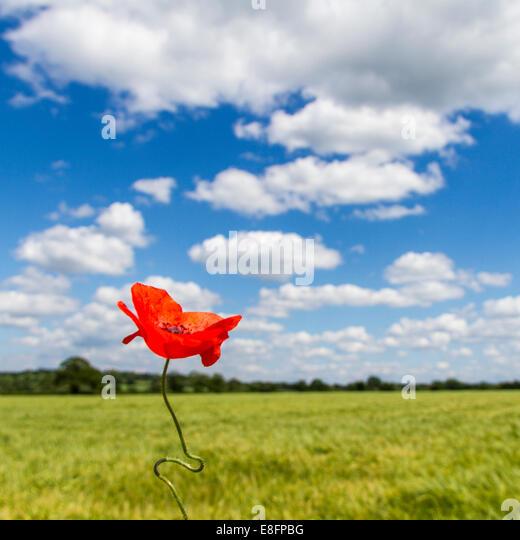 Blick auf Mohn im Feld Stockbild