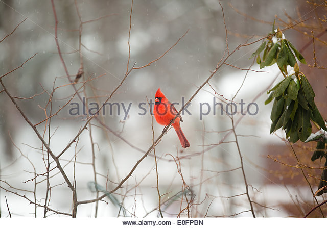 Kardinal Vogel in Winterlandschaft Stockbild