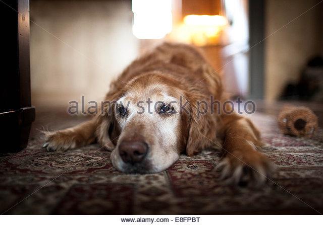 Hund liegend auf Teppich Stockbild