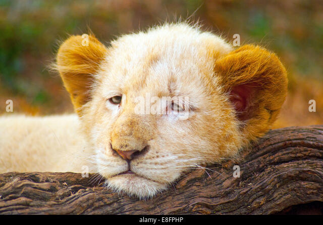 Bild von White Lion Cub (Panthera Leo Krugeri) liegen auf Baumstamm, Limpopo, Südafrika Stockbild