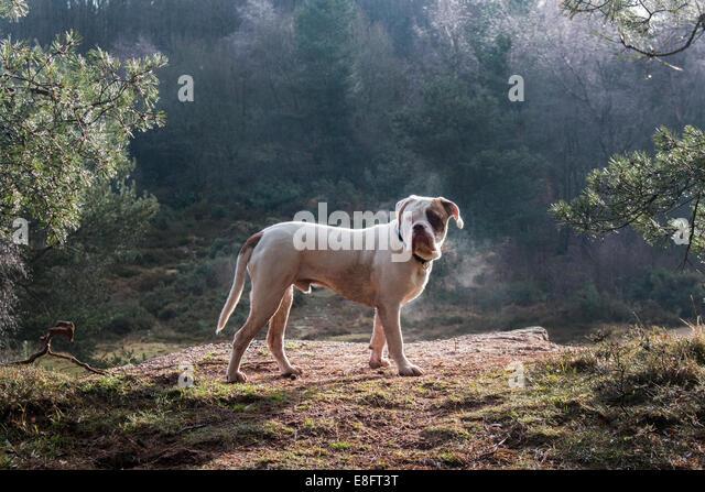 Großbritannien, England, West Midlands, Stoke-on-Trent, alte Tyme Bulldogge in der Morgensonne Park Hall Stockbild