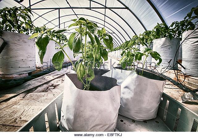 Tomatenpflanzen im Wachstum Taschen in Poly-tunnel Stockbild