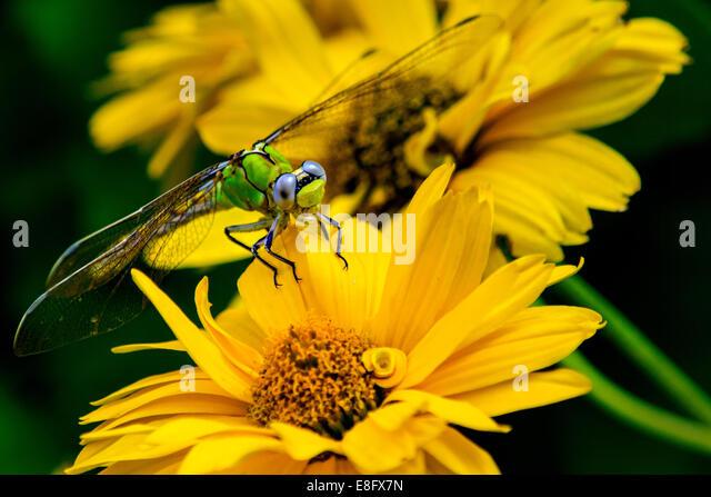 Libelle sitzt auf gelbe Blume Stockbild