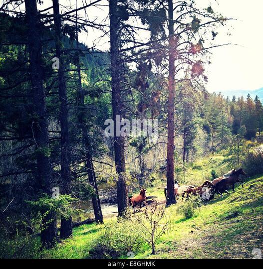 Kanada, British Columbia, Okanogan Wildpferde Stockbild