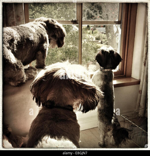 Drei Hunde aus dem Fenster schauen Stockbild