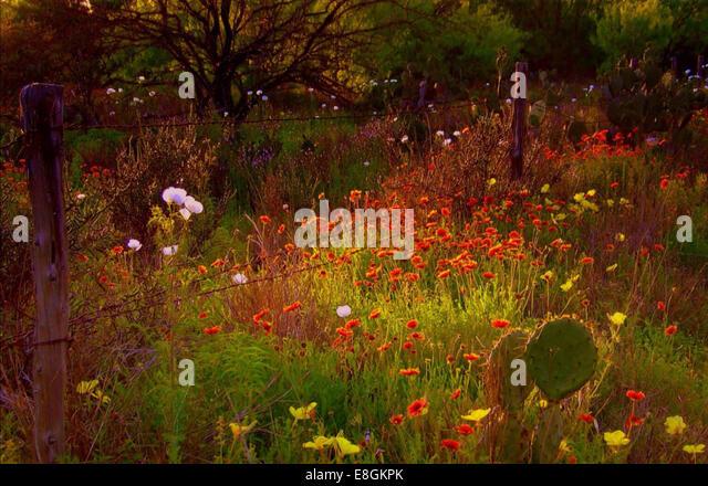 USA, Texas, Dimmit County, wilde Blumen in voller Blüte Stockbild