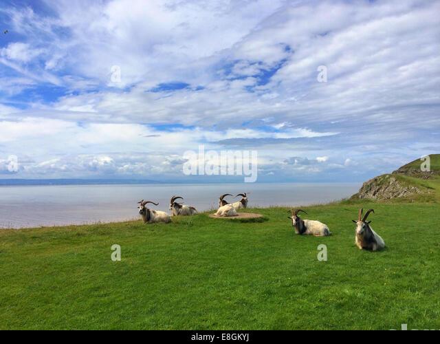 Großbritannien, England, Somerset, Ziegen auf Brean unten Stockbild