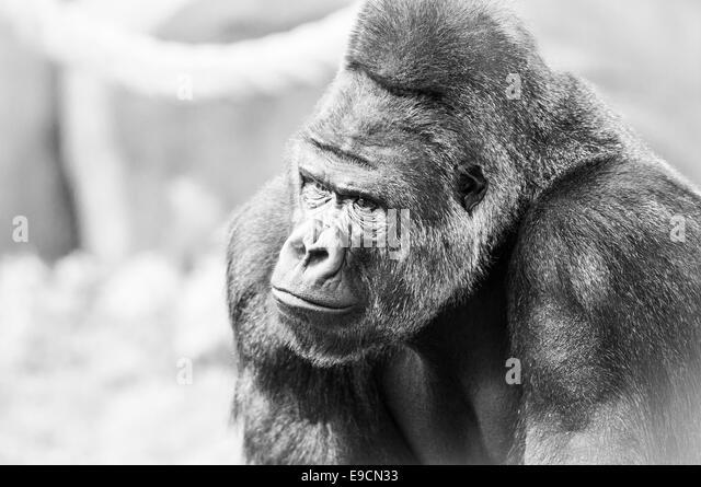 Schwarz-weiß-Porträt von Gorilla. Tierische Gesicht. Stockbild