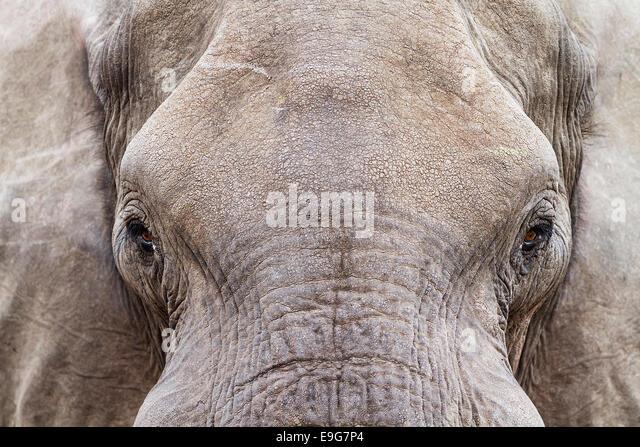 Nahaufnahme eines afrikanischen Elefanten (Loxodonta Africana) trinken an einem Wasserloch, Botswana Stockbild