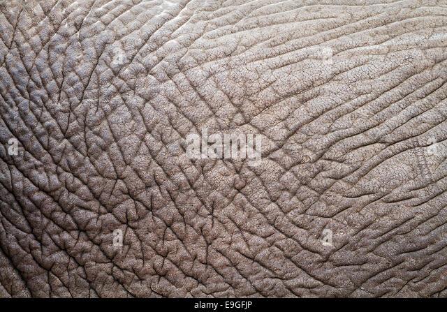 Nahaufnahme der faltige Haut eines afrikanischen Elefanten (Loxodonta Africana) enthüllt, abstrakte Informationen, Stockbild