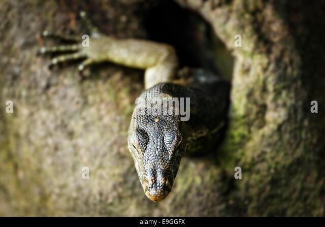 Malaiische Wasser-Waran (Varanus Salvator) ergibt sich aus einem Loch in einem Mangroven-Baum Stockbild