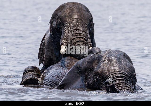 Einen afrikanischen Elefanten reitet auf dem Rücken eines anderen bei der Überquerung des Chobe Flusses, Stockbild