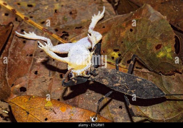 Ein Skorpion Wasser jagt auf eine malaiische Zwerg Kröte (Ingerophrynus Divergens) in der Nacht in einem tropischen Stockbild