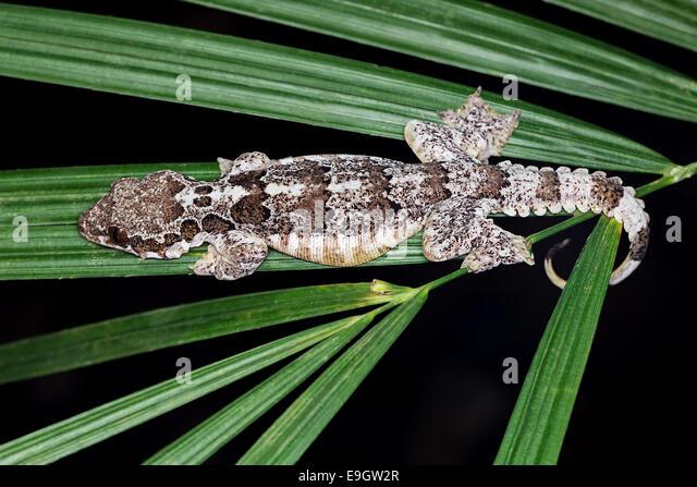 Die Horsfield fliegen Gecko (Ptychozoon Horsfieldii) in einem tropischen Regenwald auf Borneo Stockbild