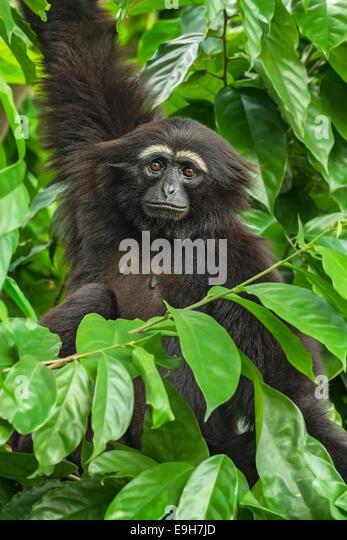 Captive Agile Gibbon (Hylobates Agilis) im Zoo von Singapur - Stock-Bilder