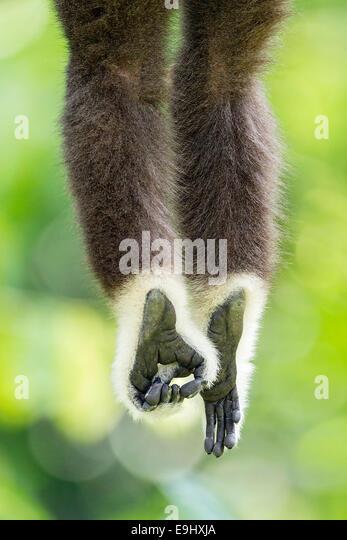 Captive White-handed Gibbon (Hylobates Lar) im Zoo von Singapur Stockbild