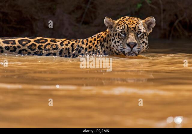Wildes Jaguar Schwimmen im Flusswasser im Pantanal, Brasilien Stockbild