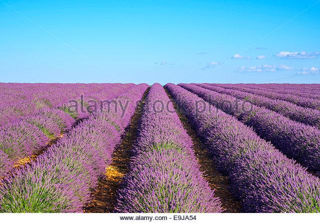 Reihen von Lila Lavendel in Höhe der Blüte Anfang Juli im Feld auf dem Plateau de Valensole, Provence, Stockbild