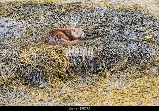 Europäischen Fischotter ruht auf Algen an der Küste ein Meer-See Stockbild