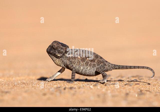 Namaqua Chamäleon (Chamaeleo Namaquensis) Baby, Namib-Wüste, Namibia, Stockbild