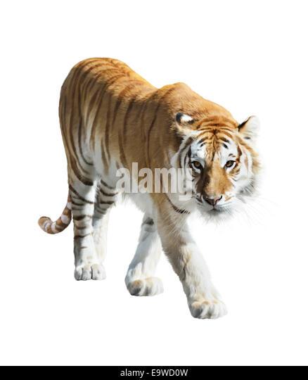 Digitale Malerei des Gehens Tiger Stockbild