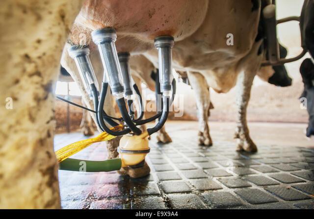 Nahaufnahme von Melktechnik Milchkuh befestigt; Ridgely, Maryland, Vereinigte Staaten von Amerika Stockbild