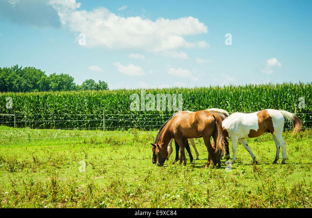 Pferde grasen auf einer Weide neben einem Kornfeld; Centerville, Maryland, Vereinigte Staaten von Amerika Stockbild