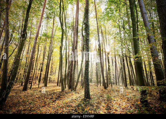 Geheimnisvolle Wald Herbstlandschaft mit Sonnenstrahlen. Stockbild