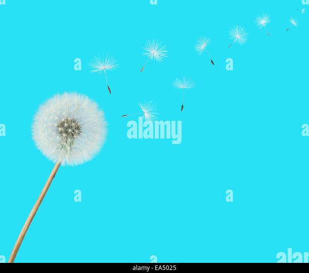 flauschige Löwenzahn Blume mit Samen verwehen auf blauem Hintergrund Stockbild