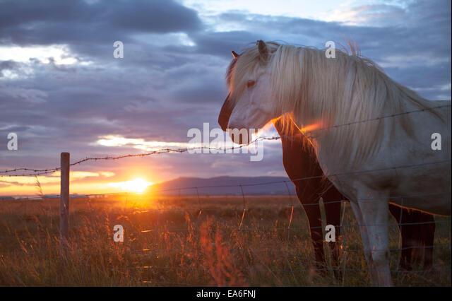 Island, Hauptstadtregion, Reykjavik, Pferde auf der Weide Stockbild