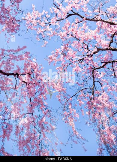 Cherry Blossoms und Flugzeug an sonnigen Frühlingstag Stockbild