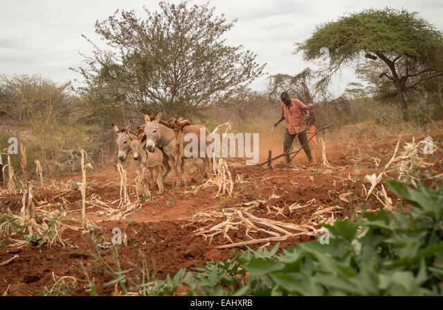 Ein kleiner Bauer verwendet Eseln seines Fachs in Makueni County, Kenia, Ostafrika zu pflügen. Stockbild