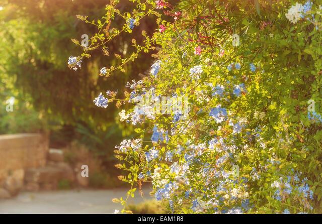Blaue Blumen im ländlichen Haushalt in der Toskana in einem schönen sonnigen Tag Stockbild