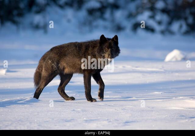 black wolf in winter stockfotos black wolf in winter bilder seite 3 alamy. Black Bedroom Furniture Sets. Home Design Ideas