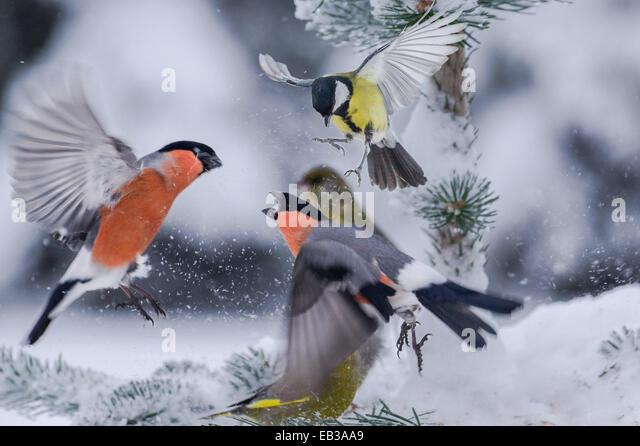 Gimpel auf schneebedeckten Baum konfrontiert Stockbild