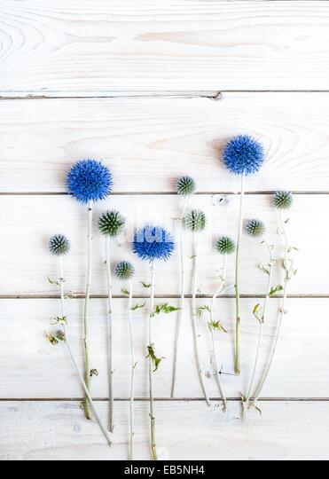 Echinops auf weißer Holztisch Stockbild