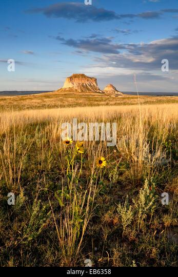 Gelbe Wildblumen und Pawnee Buttes, Pawnee National Grassland, Colorado USA Stockbild