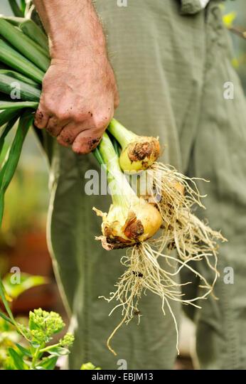 Mann hält frisch gepflückt Zwiebeln, Fokus auf Händen Stockbild