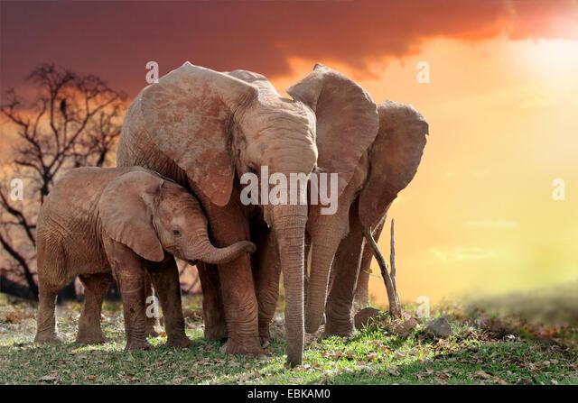 Afrikanischer Elefant (Loxodonta Africana), Elefanten mit Jungtier im Sonnenuntergang, Kenia, Amboseli-Nationalpark Stockbild