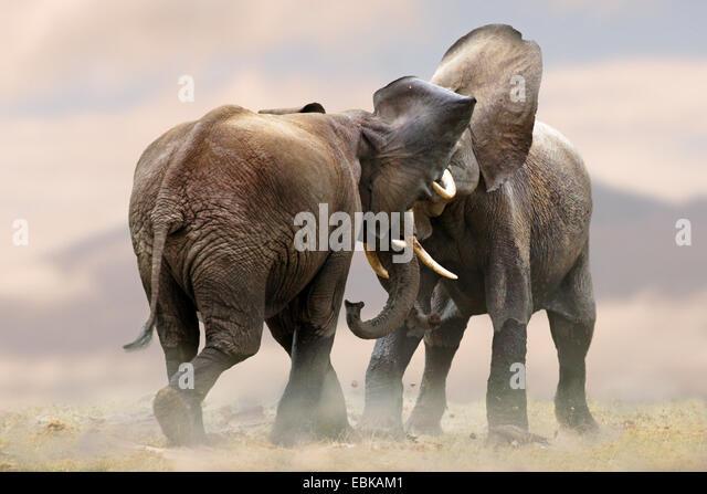 Afrikanischer Elefant (Loxodonta Africana), zwei Elefanten, die raufenden zusammen, Kenia, Amboseli-Nationalpark Stockbild