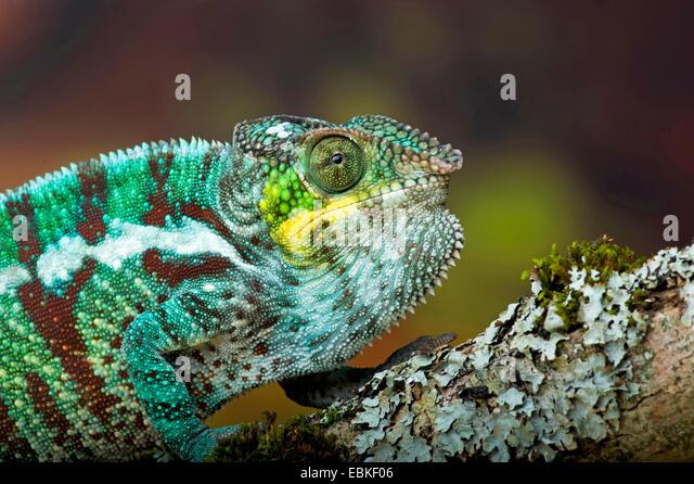 Pantherchamäleon (Furcifer Pardalis, Chamaeleo Pardalis), portrait Stockbild