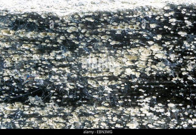 Obsidian, Italien, Aolische Inseln, Lipari Stockbild